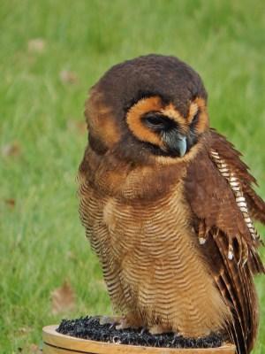 owl weeks