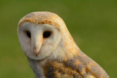 barn owl ring bearing weddings