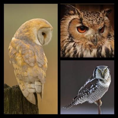 Barn owl ring bearing