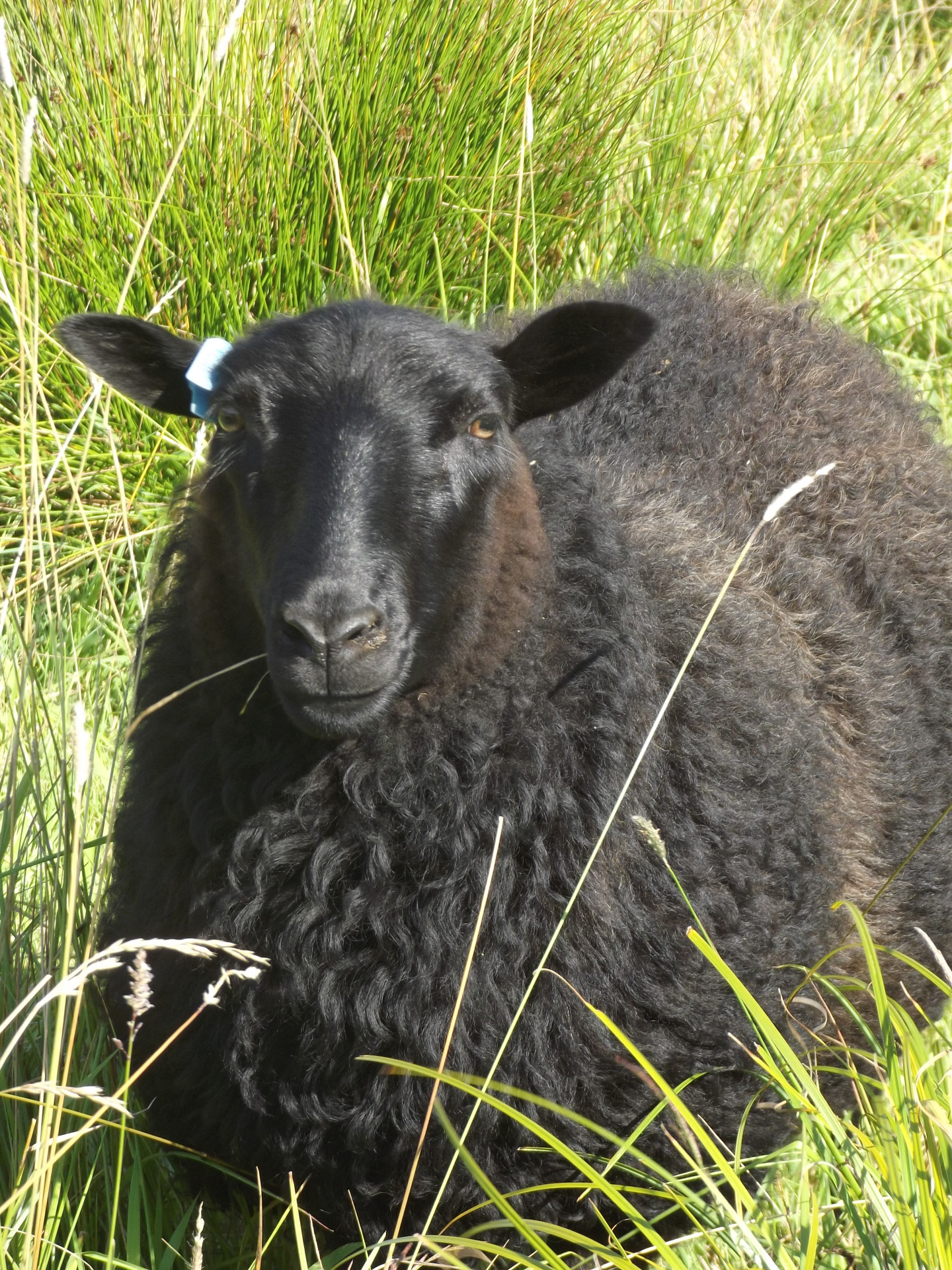 Lovely solid black polled ewe