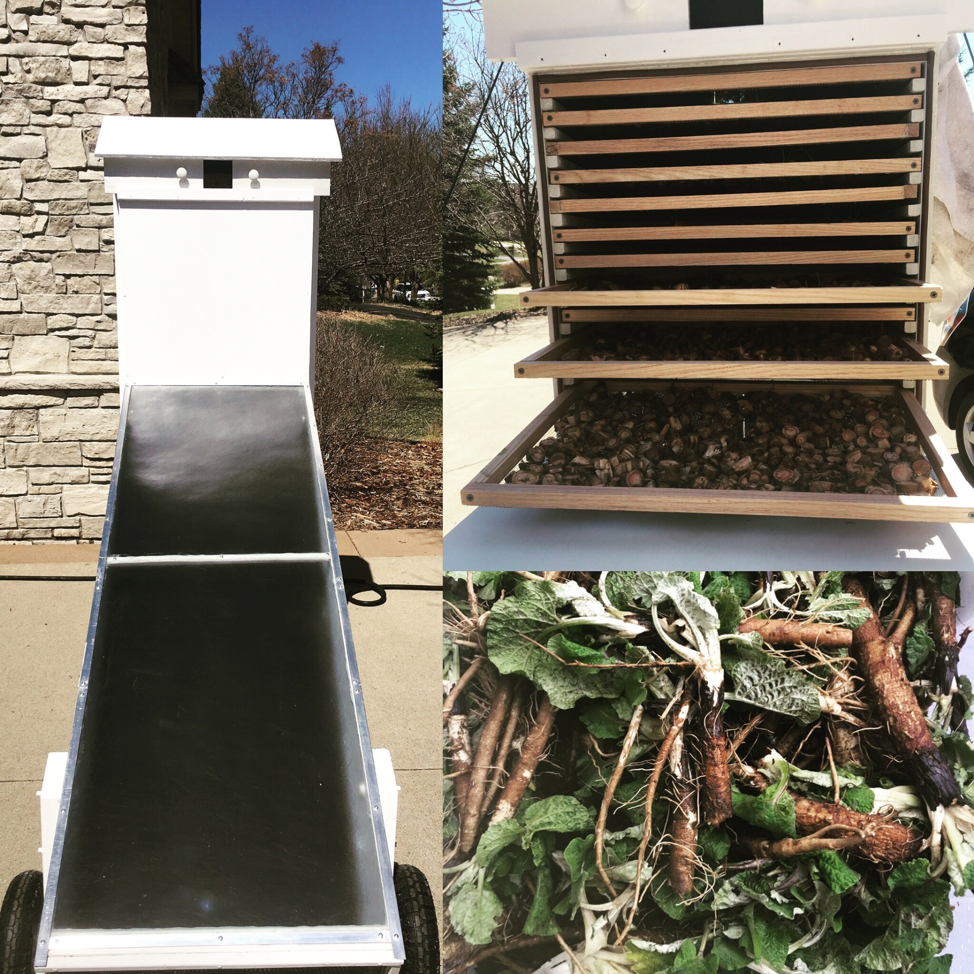 Solar Dehydrator finished and loaded with Burdock Root!