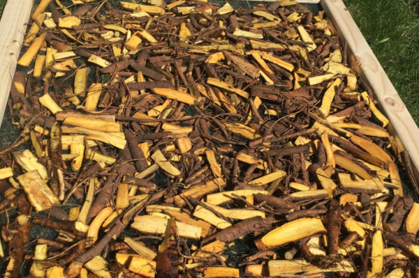 Yellow Dock Roots ready to dry