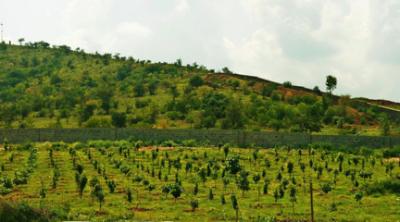 Pongamia Plantation
