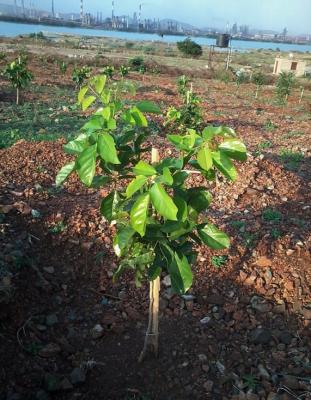 pongamia sapling