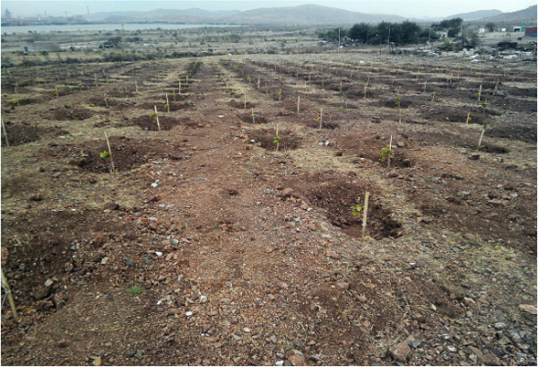 Pongamia planting