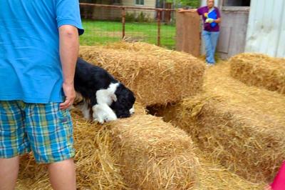Barbra-Jean at a BarnHunt event; Oxford Dog Sports