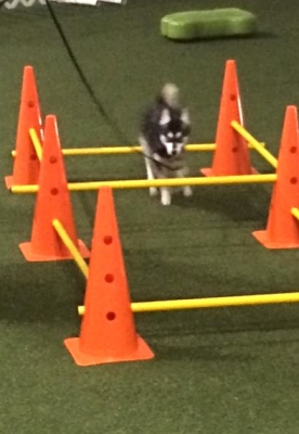Maeve at Oxford Dog Sports