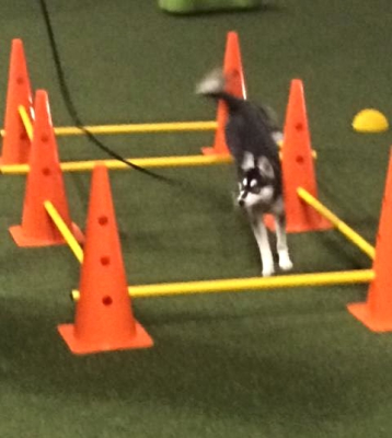 Maeve in class at Oxford Dog Sports