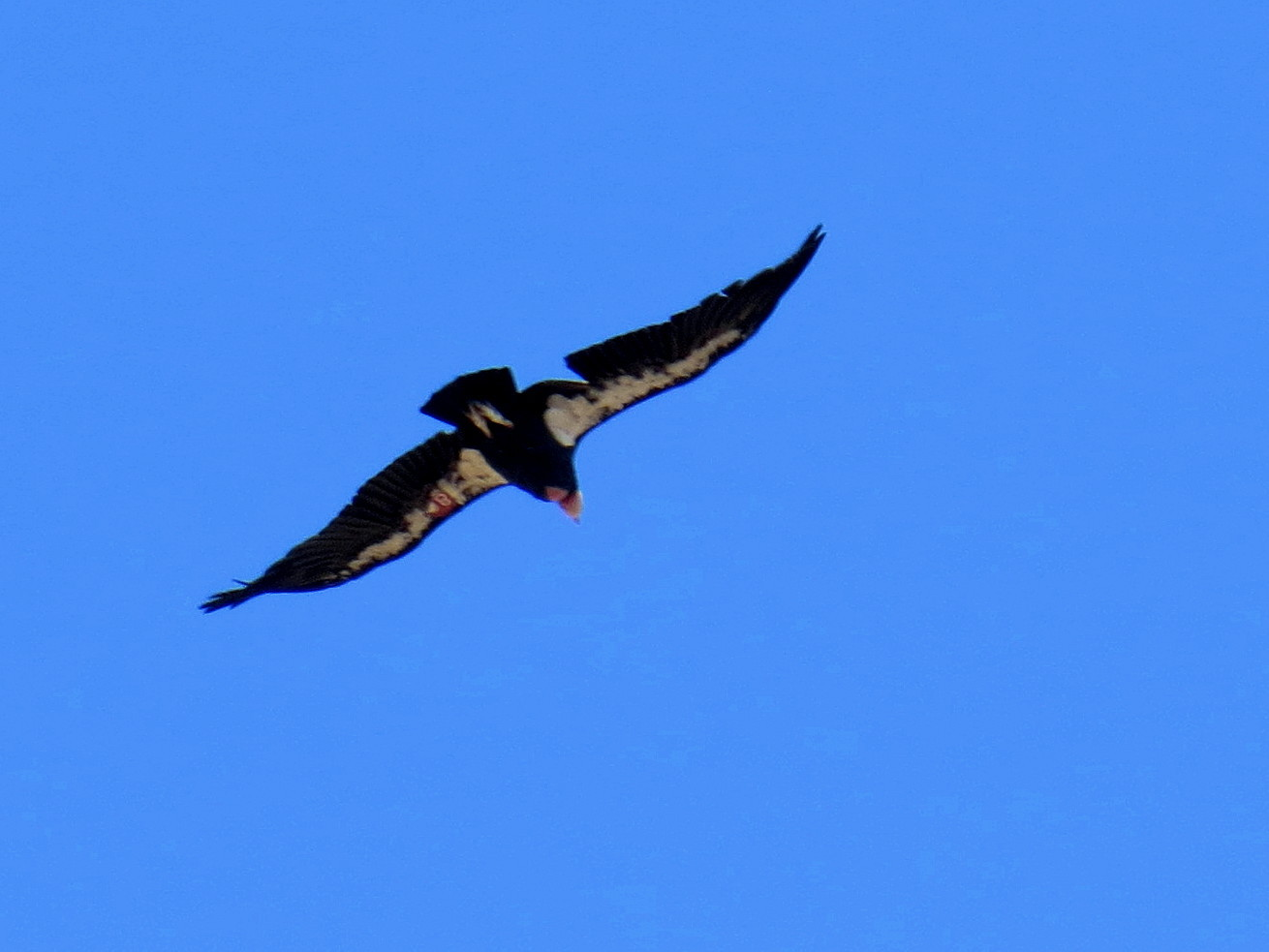 Protecting  The Endagered California Condor: Interview with Biologist at Hopper Mountain