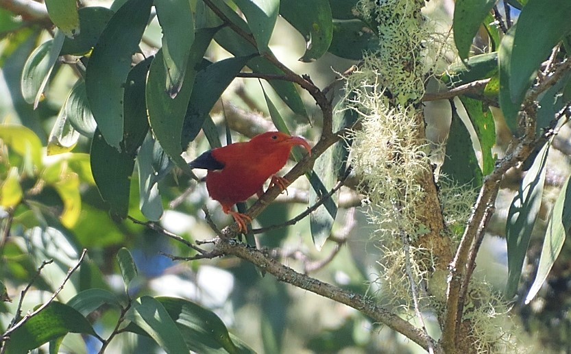 Birds of the Hakalau Forest on the Big Island of Hawai'i: My Interview with Jack Jeffrey