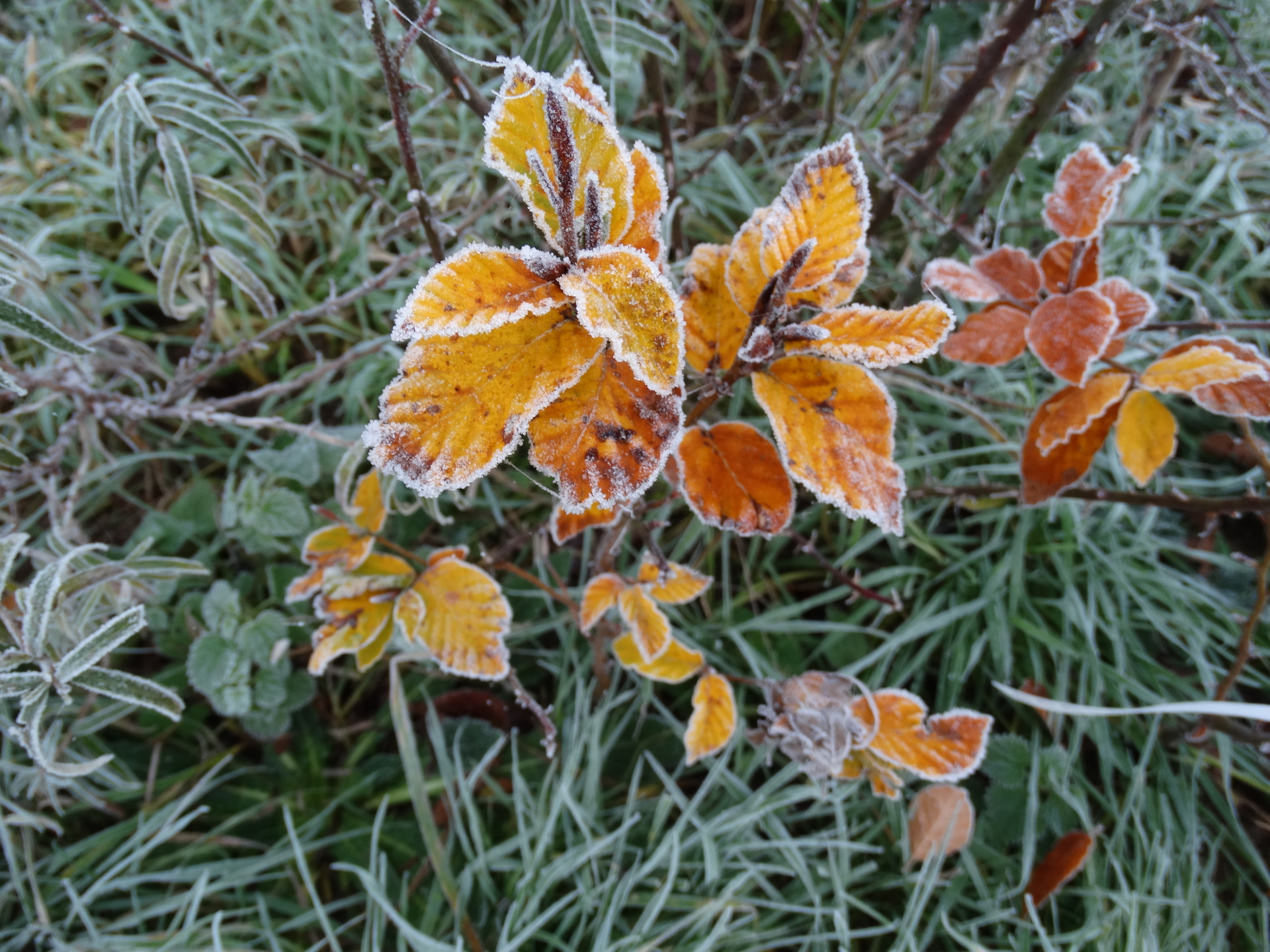 A frosted beech