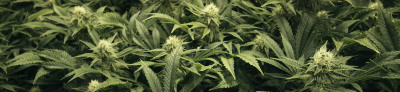 Know what your Buying! - What are PGR's and why are they NOT in Dutch Caliber Weed