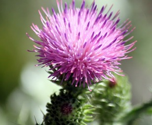 Broadleaf & Purple Thistles