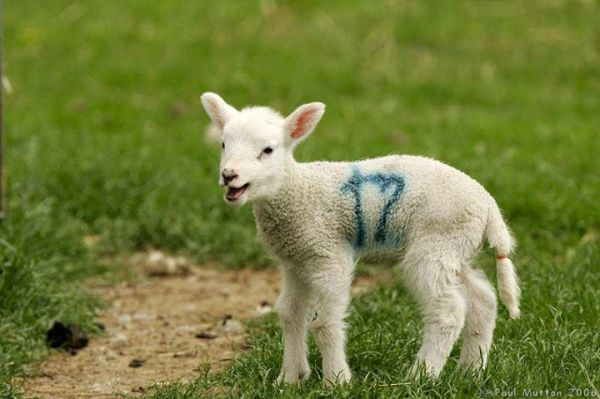 A lamb spray-painted with its tail docked with an elastrator band
