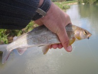 Fly caught grayling from the river Windrush