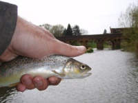 A wild brown trout from the river Stour near Shipston on Stour