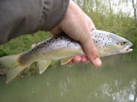 A brown trout from the river Stour