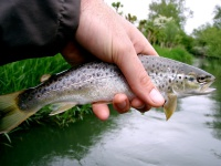 Brown trout caught on the fly from the river Glyme