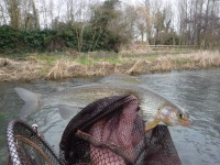 River Coln Grayling
