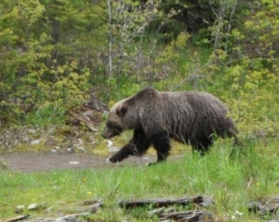 Grizzly at McDonald Creek