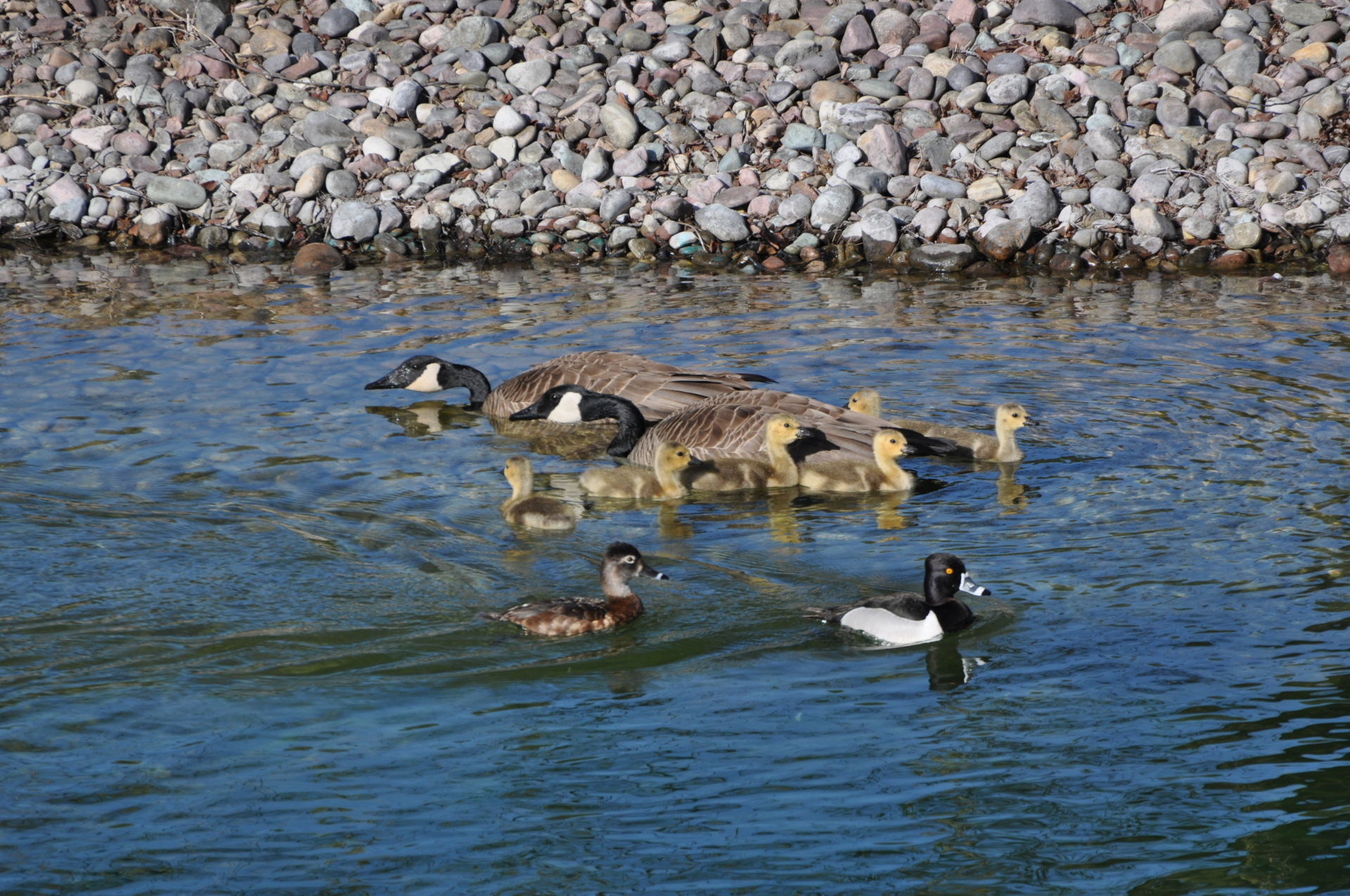 Ducks and Geese friendly gathering
