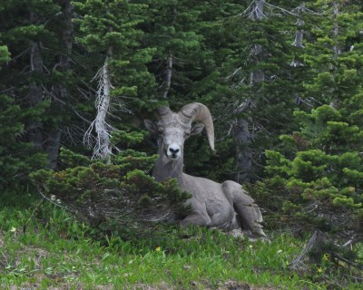Hide and seek with a Big Horn Sheep