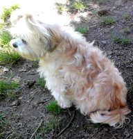 Steffies Pet Lhasa Apso In Soft Curls And Top Pony Tail At Mt Tabor Park