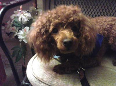 Beautiful Coco Mini Poodle Sits Up On Chair In Basement Salon At Steffies House Dog Grooming