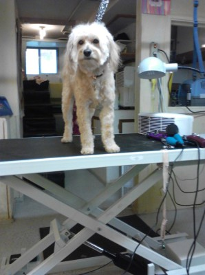 Mini Labradoodle On Steffies Hydraulic Lift Grooming Table
