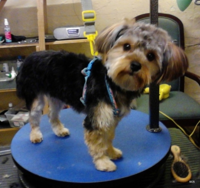Darling Yorkie In Puppy Clip Harnessed On Tiny Dog Table