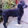 Standard Poodle After Grooming At Steffies House Customer Wanted Natural Curl Left In