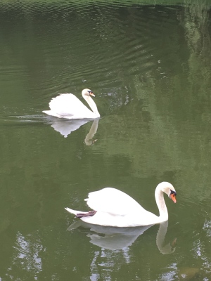 swans in the town pond
