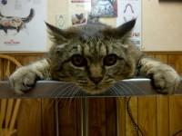 feline cat animal chiropractic