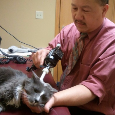 Cat Feline Chiropractic arthrostim adjusting