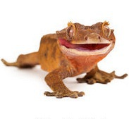 CRESTED GECKO REPTOPIA