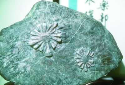 hrysanthemum Stone