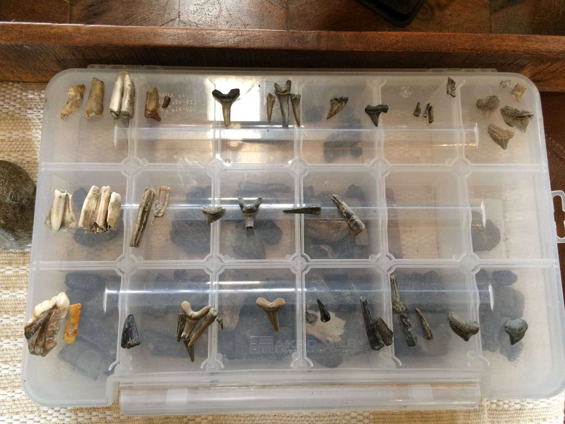 Fossilized Tooth Collection