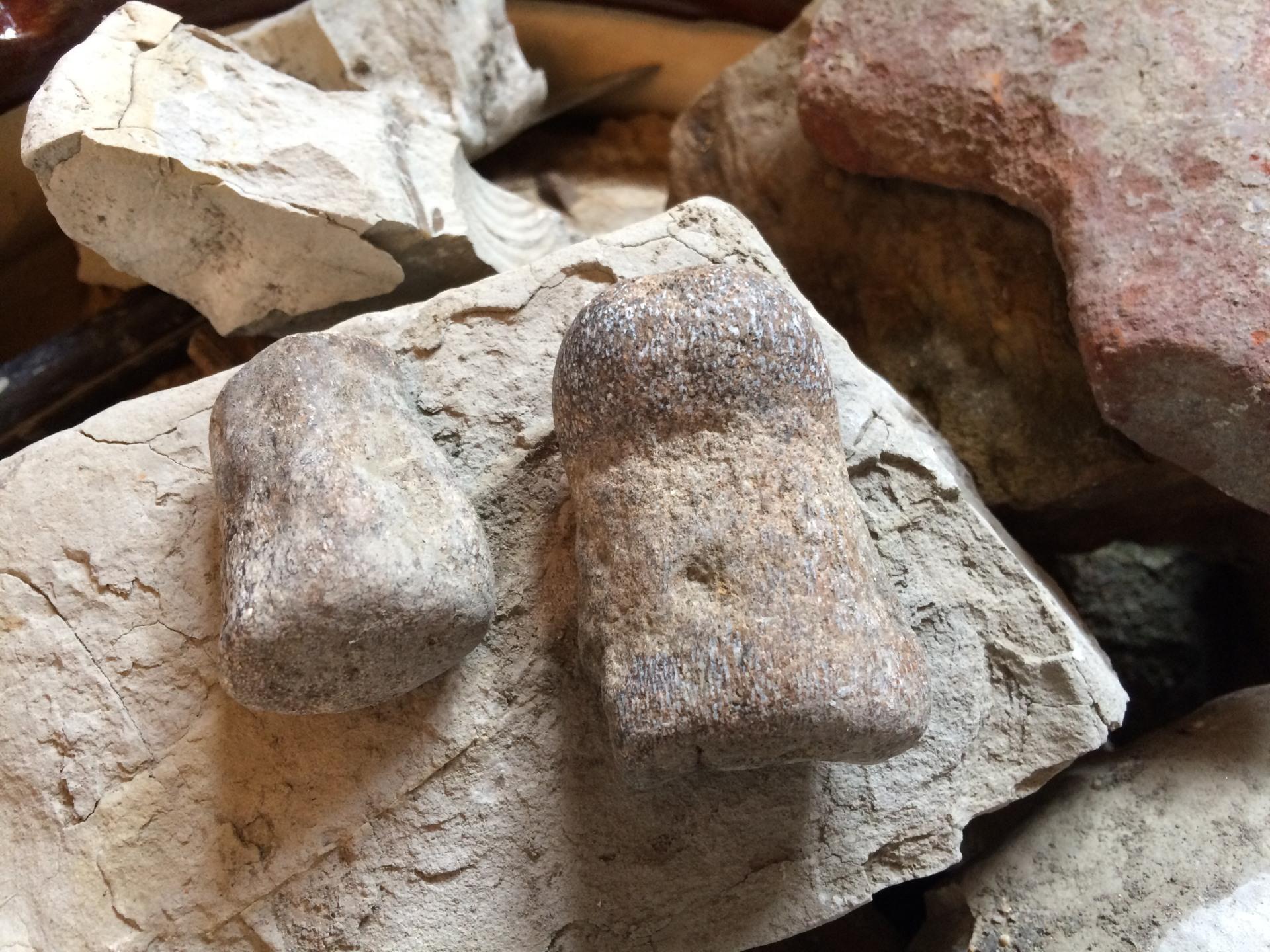 Mosasaur Bone