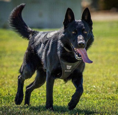 Black GSD running in a Black K9 Storm ID Harness