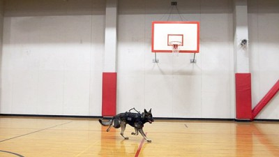 Dog in bullet proof vest runs through a gym with a basketball net in the background