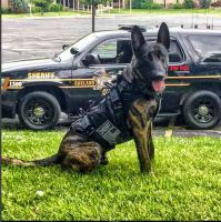 dog working in a k9 bullet proof vest