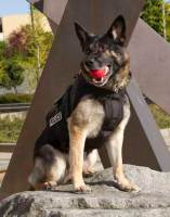 Dog wearing a k9 bullet proof vest with a red ball in his mouth
