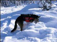 Rescue Dog Searching for Person in an Avalanche