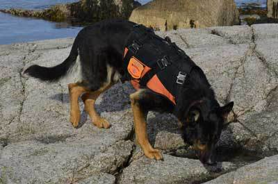 Dog searching wearing an orange protective k9 vest