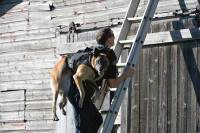 Dog being backpacked up a ladder wearing a load bearing vest