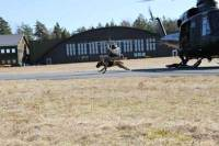Dog sprinting wearing a load bearing vest
