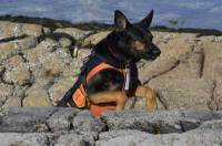 Dog jumping in orange K9 body armor