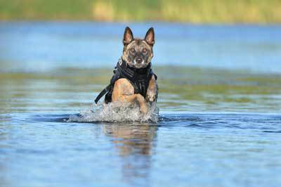 Dog swimming wearing a K9 life jacket