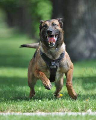 Dog running in a K9 Storm Tracking ID Harness