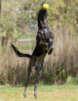 Dog jumpin in a K9 Storm Tracking ID Harness